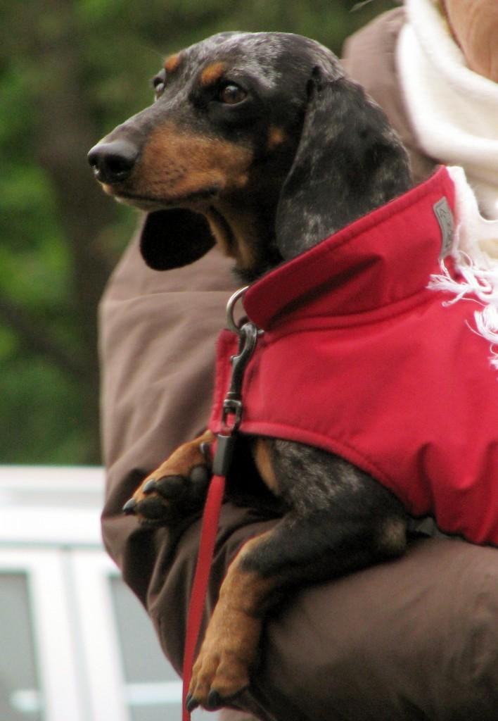 Dog in winter coat